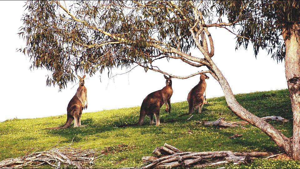 Vatra u Australiji usmrtila 480 miliona životinja
